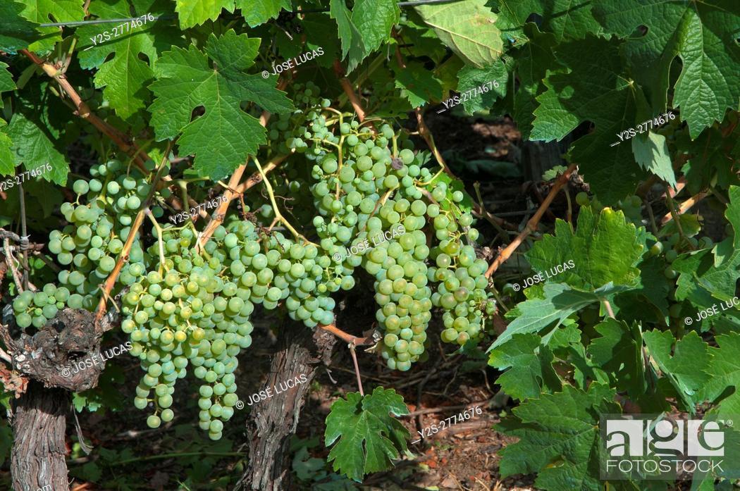 Stock Photo: Vineyard, Sober, Lugo province, Region of Galicia, Spain, Europe.
