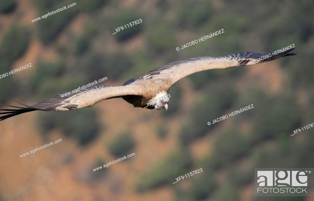 Stock Photo: Griffon vulture. Gyps fulvus.