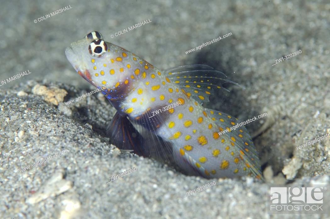 Stock Photo: Spotted Shrimpgoby (Amblyeleotris guttata) guarding hole entrance, K41 dive site, Dili, East Timor (Timor Leste).