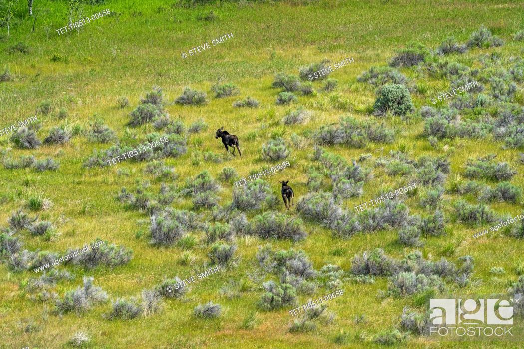 Stock Photo: Aerial view of moose in Picabo, Idaho, USA.
