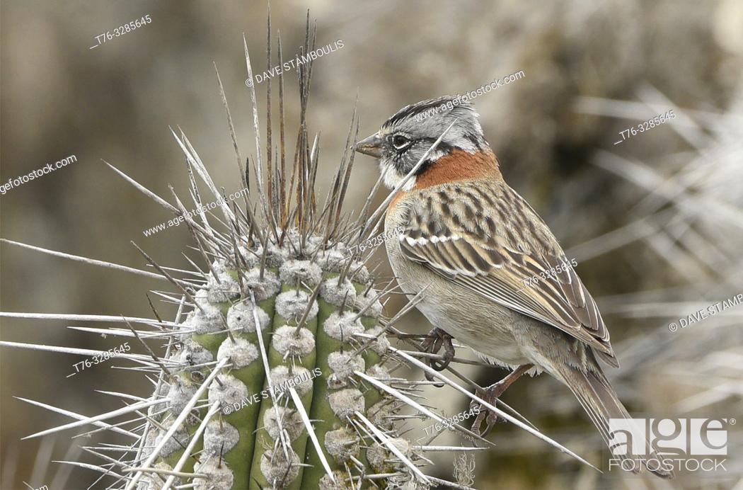 Stock Photo: Andean sparrow (rufous-collared sparrow) on Isla Damas, Humboldt Penguin Reserve, Punta Choros, Chile.