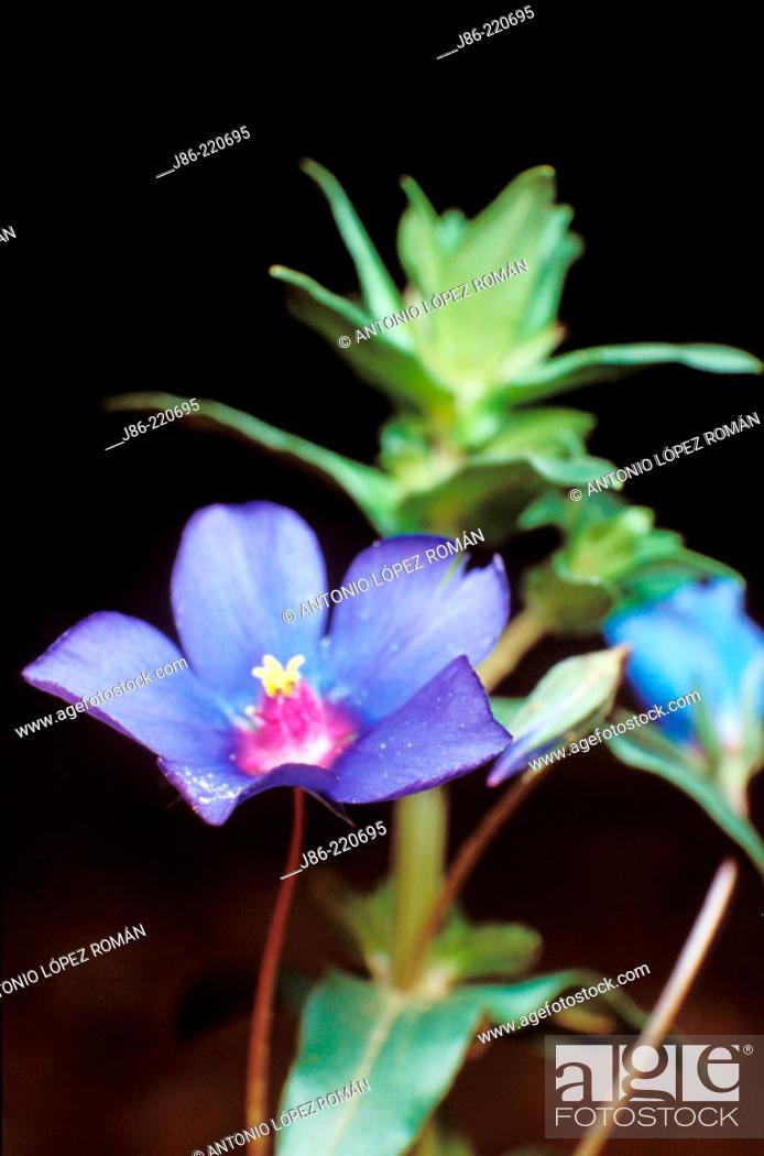 Stock Photo: Blue Pimpernel (Anagallis foemina).
