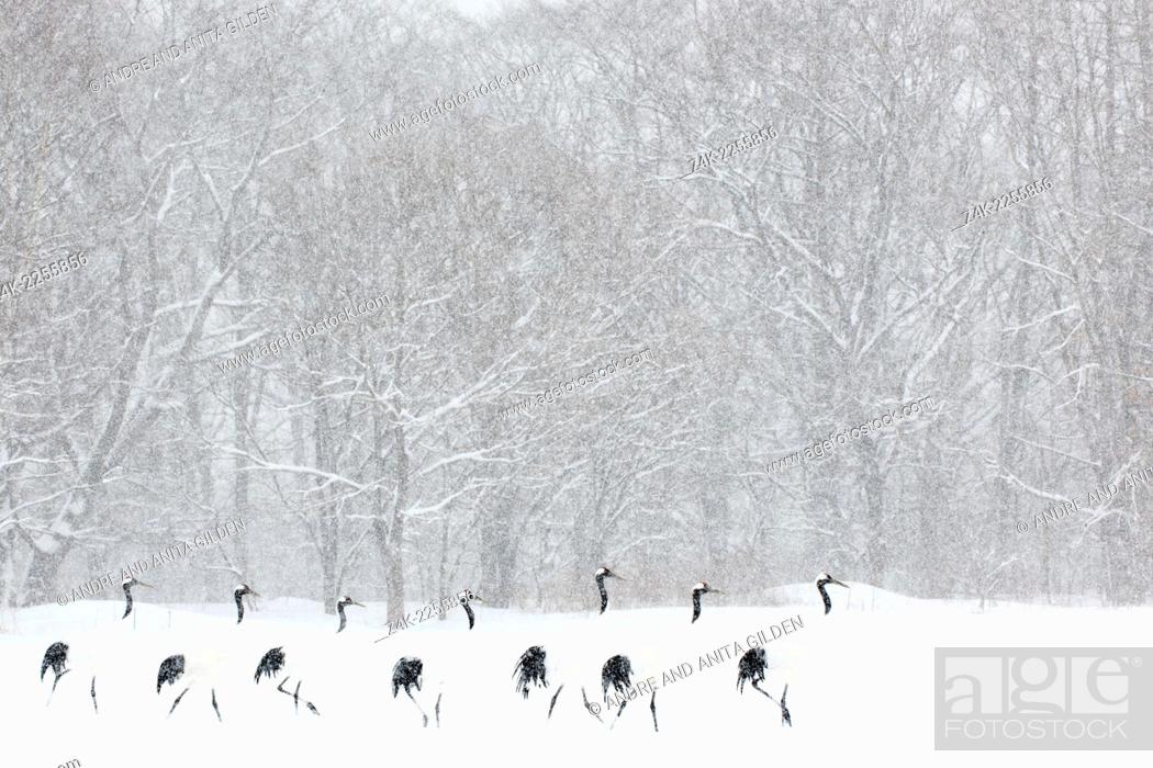Stock Photo: Red Crowned Cranes (Grus japonensis) walking in line in front of a forest during a blizzard. Winner highly honored Windland Smith Rice awards.