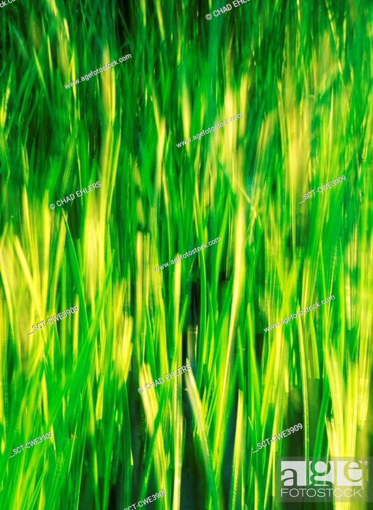 Stock Photo: Long stalks of green grass blowing in the wind.