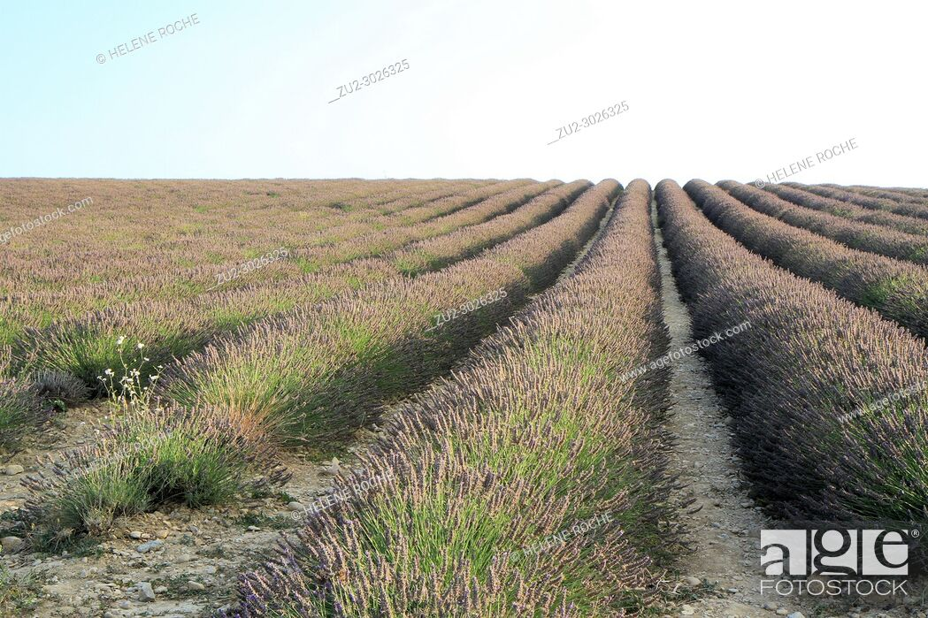 Stock Photo: Lavender fields in Valensole, Provence, France.