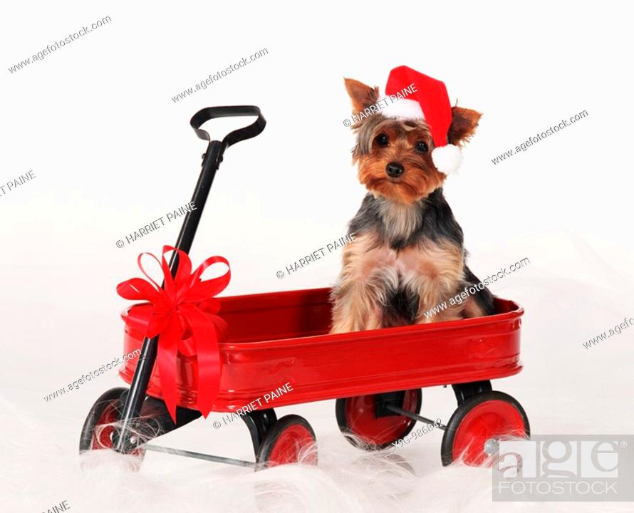 Stock Photo: Yorkshire Terrier.