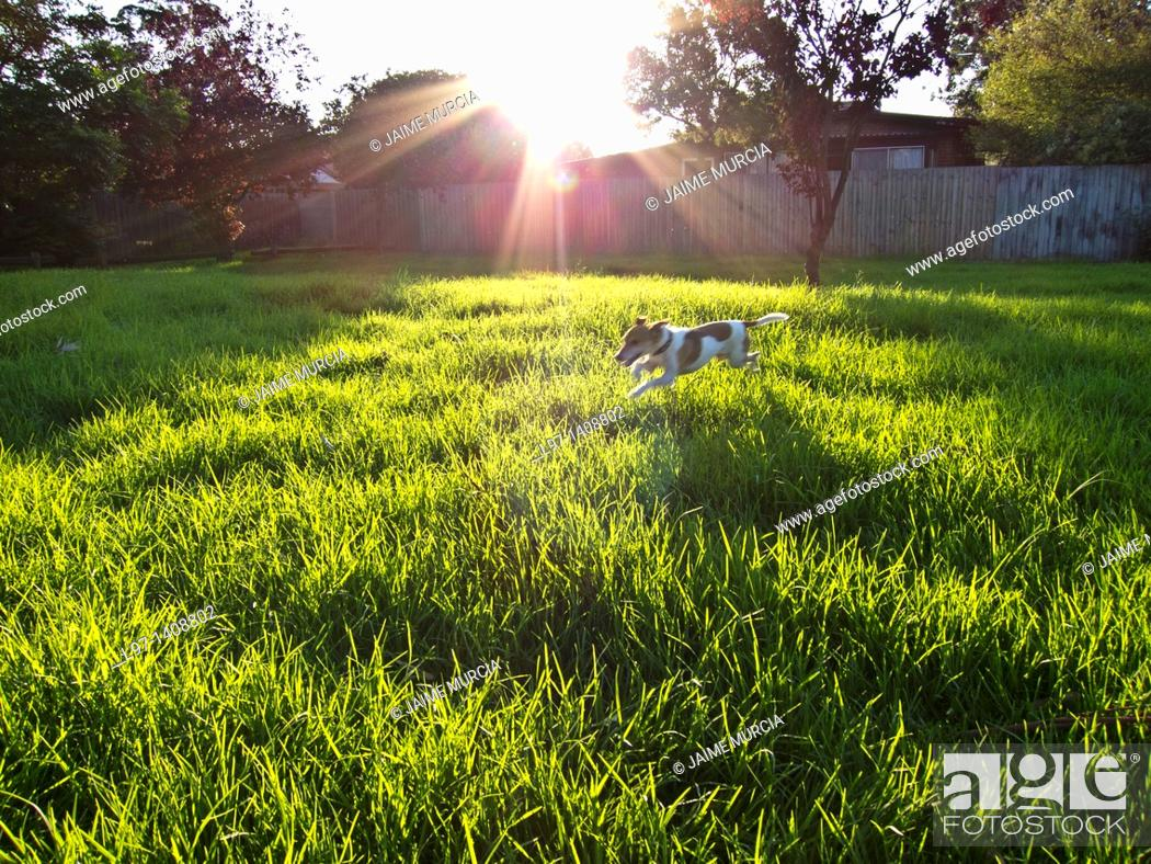 Stock Photo: Dog jumping through long grass in park.