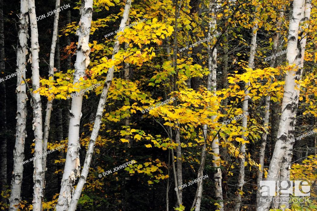 Stock Photo: White birch Betula papyrifera tree trunks and sugar maple foliage.