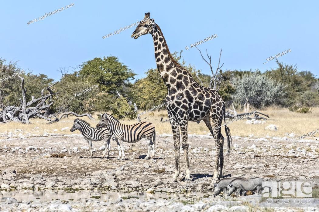 Stock Photo: Etosha National Park, Namibia, Africa.