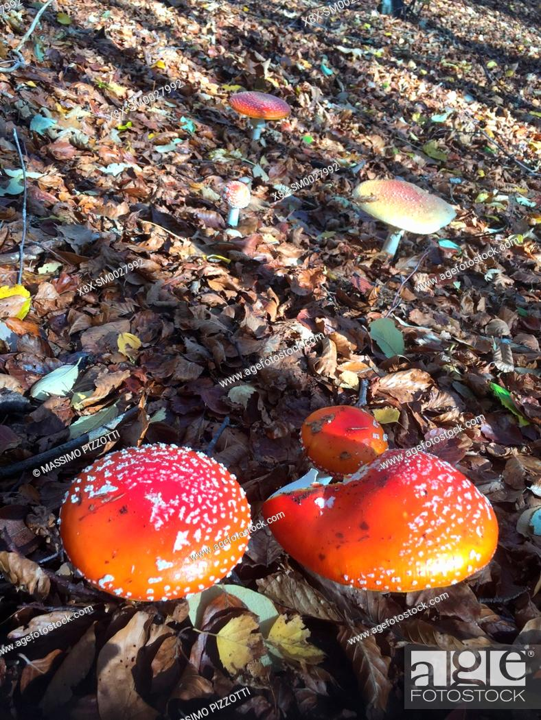 Stock Photo: Amanita Muscaria in the forest of the Tuscan-Emilian Apennines, Italy.
