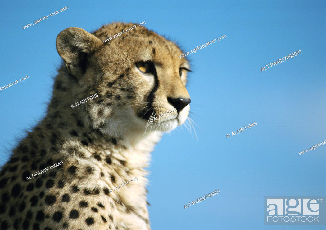 Stock Photo: Africa, Kenya, cheetah, focus on head.