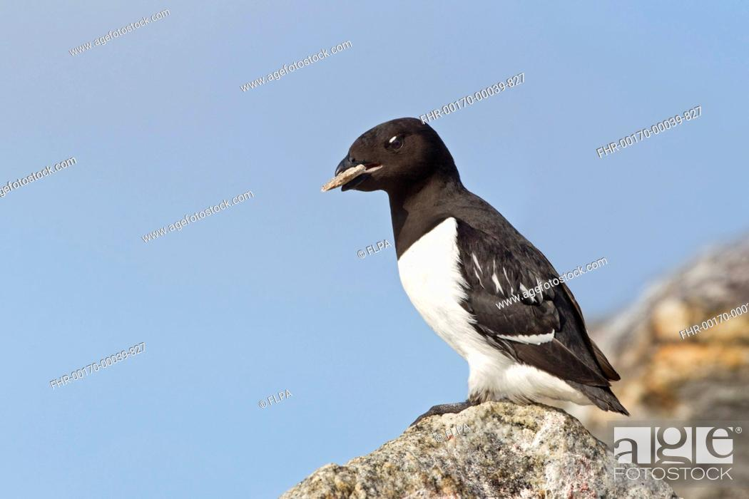 Stock Photo: Little Auk Alle alle adult male, summer plumage, with stone in beak as offering to female in breeding colony, Spitzbergen, Svalbard, july.