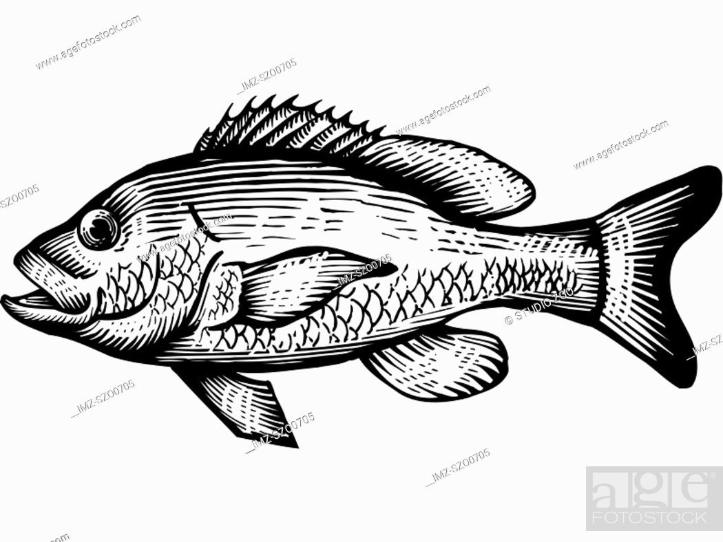 Stock Photo: A black and white drawing of a red snapper.