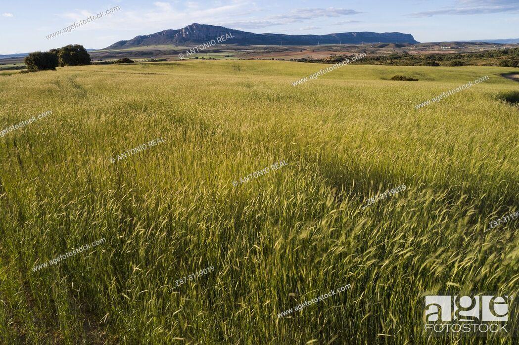 Imagen: Cereals and Sierra de El Mugrón. Almansa. Albacete. Spain.