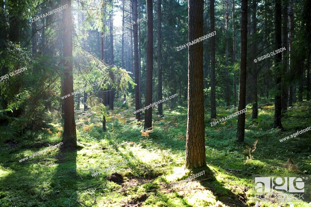 Stock Photo: Sunlight shining through trees in forest.