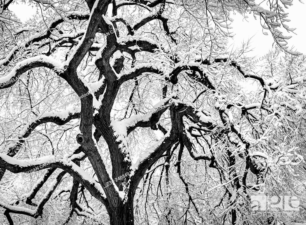 Stock Photo: Snow covered tree in Central Park in New York City after a snow storm during the polar vortex.