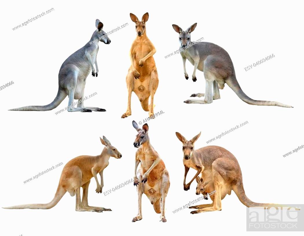 Stock Photo: kangaroo isolated on white background.