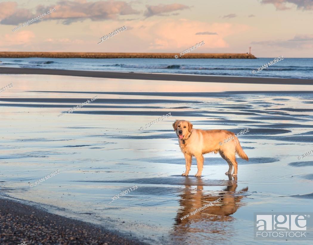 Stock Photo: Golden Retriever with mirror reflection on the beach, Ayamonte, Huelva, Spain.