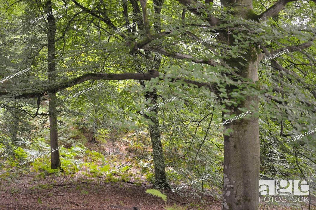 Stock Photo: beech tree grove in the Forest of Rambouillet, Haute Vallee de Chevreuse Regional Natural Park, Department of Yvelines, Ile de France Region, France, Europe.