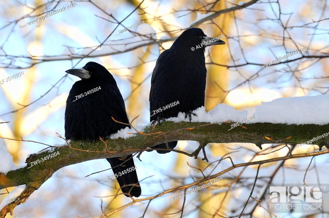 Stock Photo: Two rooks sit on a branch in Ystad, Scania, Sweden.