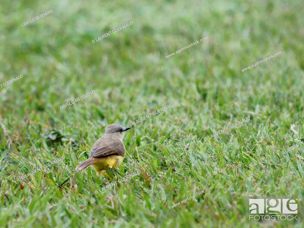 Stock Photo: Bird, Siriri-cavaleiro, São Paulo, Brazil.