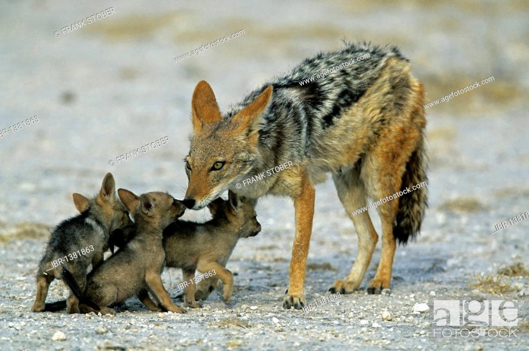 Stock Photo: Black-backed jackal (Canis mesomelas) with cubs, Etosha, Namibia, Africa.