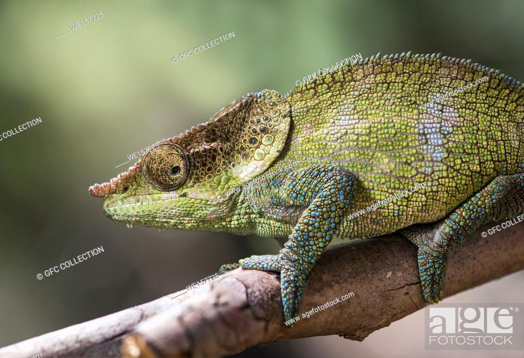 Photo de stock: Cryptic Chameleon (Calumma crypticus), (Chameleonidae), endemic to Madagascar, Anjozorobe Nationalpark, Madagascar.
