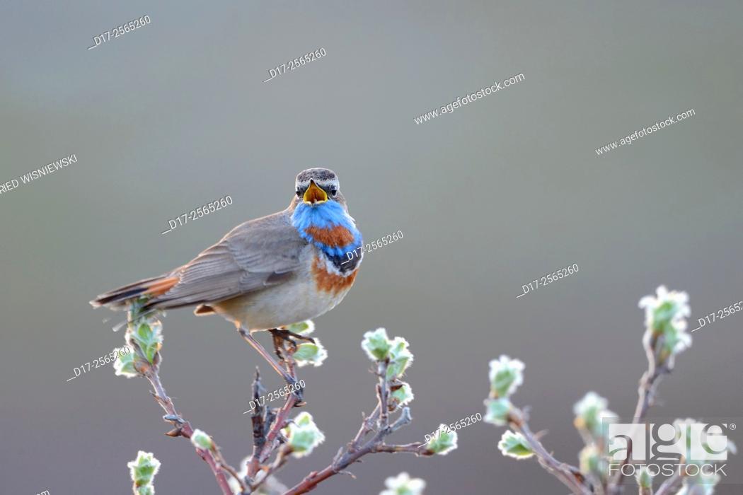 Stock Photo: Singing red-spotted bluethroat (Luscinia svecica svecica). Norway.