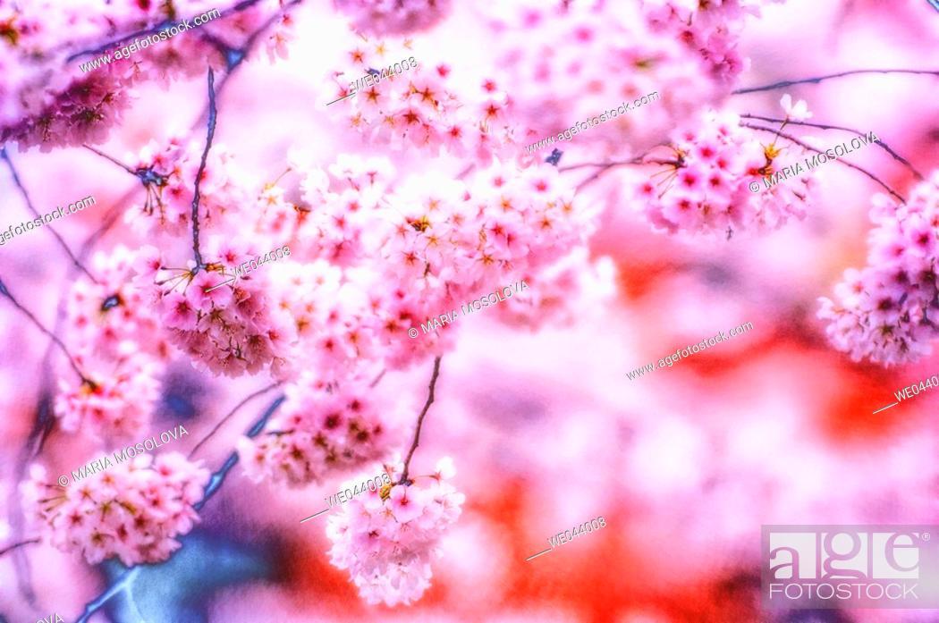 Stock Photo: Cherry Blossom. Prunus serrulata, cherry. April. Maryland, USA.