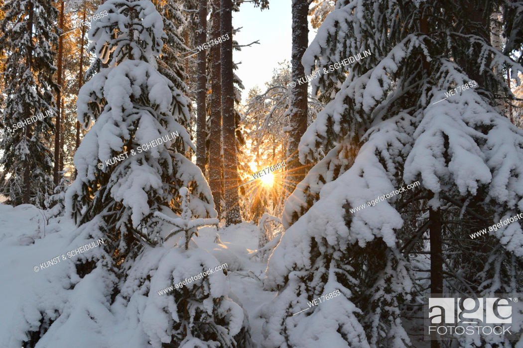 Stock Photo: Snow-clad trees in a softwood forest on a cold and sunny winter day.