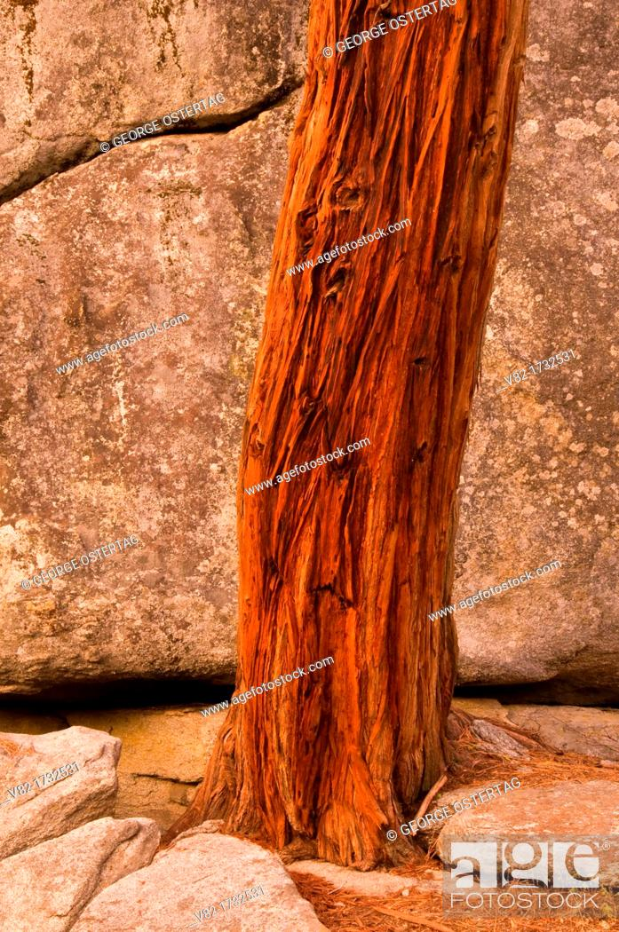 Stock Photo: Cedar trunk by boulder on Buena Vista Peak Trail, Kings Canyon National Park, CA.