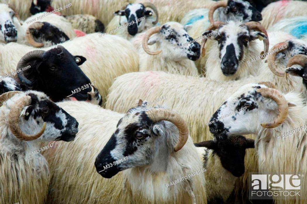 Stock Photo: Goats. Dingle peninsula. Co. Kerry. Ireland.