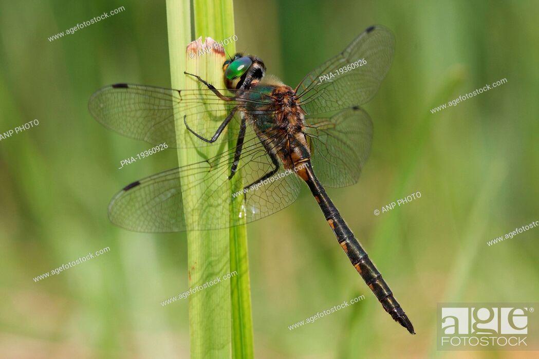 Imagen: Yellow-spotted Dragonfly Somatochlora flavomaculata - National Park Weerribben-Wieden, De Weerribben, Woldlakebos, Scheerwolde, Steenwijkerland, Overijssel.