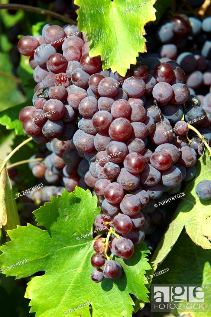 Stock Photo: Red grapes on the vines in the vineyards of Hajos Hajós Hungary.