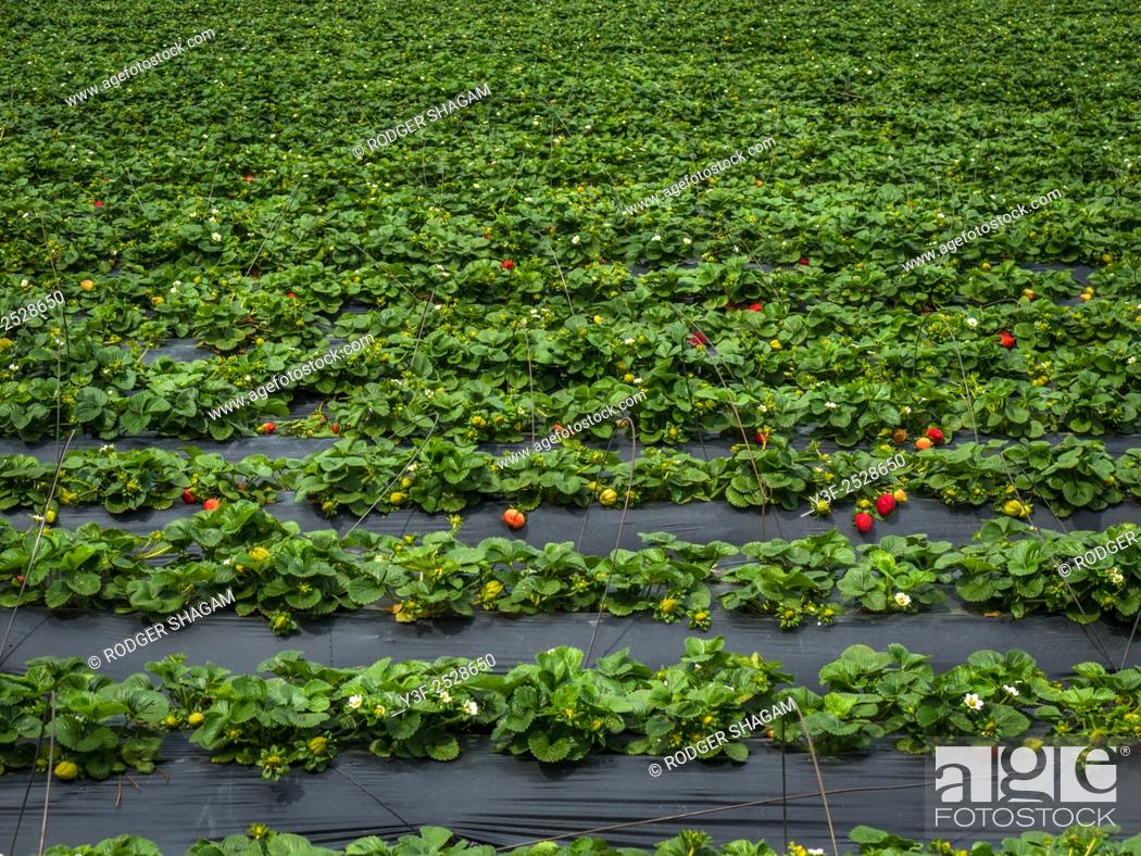 Stock Photo: Strawberry fields forever! Rows of strawberries under plastic sheeting which encourages the plants to grow while giving a certain amount of protection from.