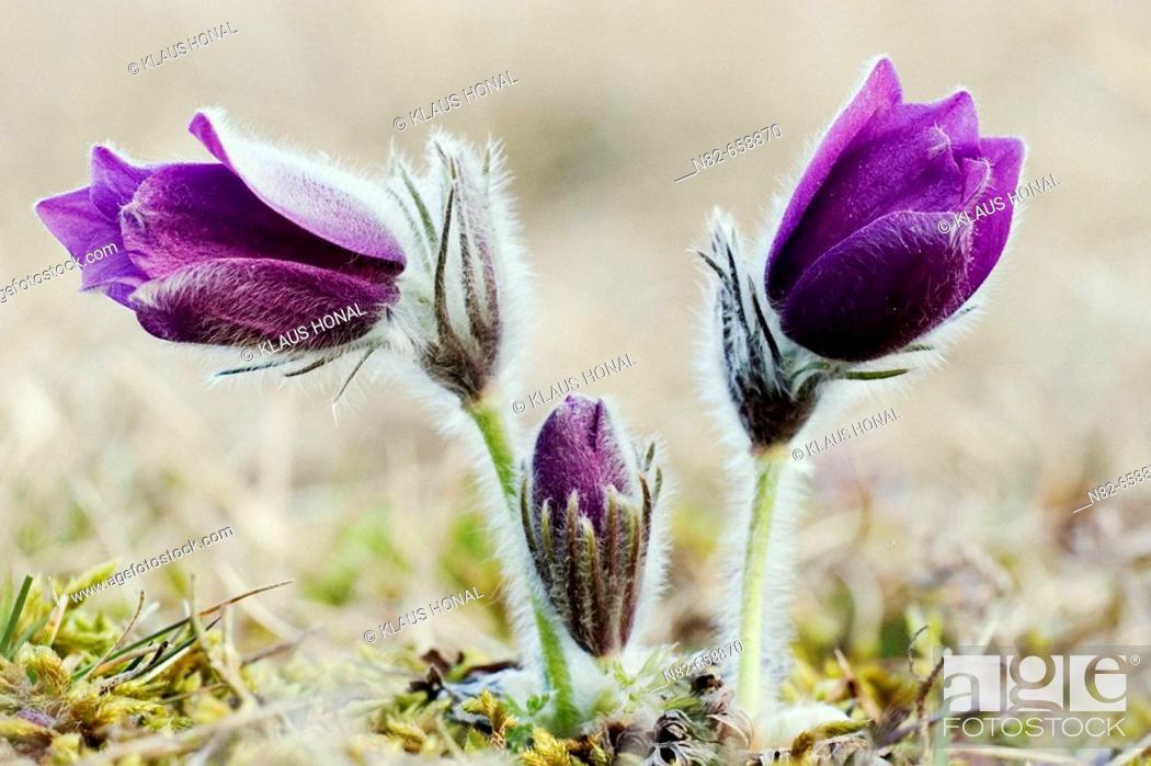Stock Photo: Pasque Flowers or Common Pasque flowers (Pulsatilla vulgaris) blooming in spring.