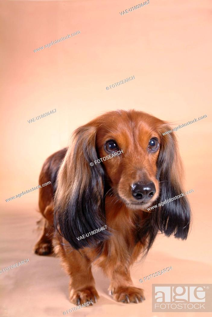 Stock Photo: looking forward, animal, domestic animal, dachshund, dog, close up, pet.