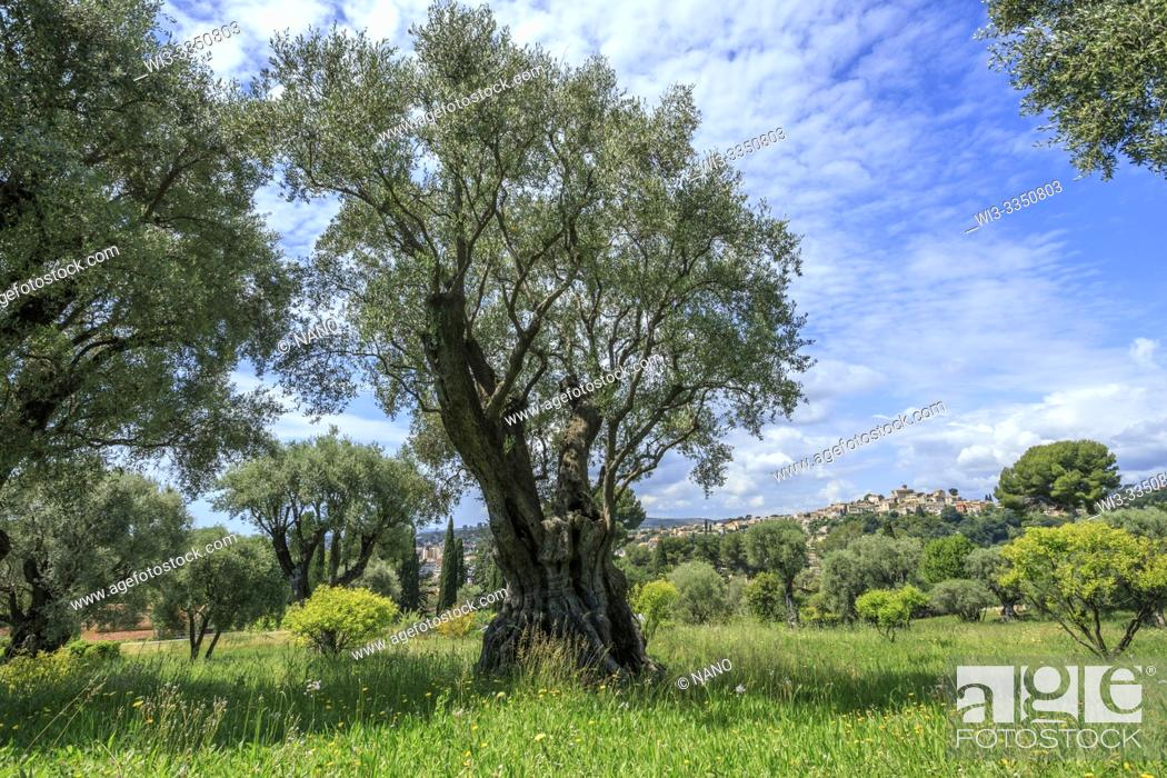 Stock Photo: France, Alpes Maritimes, Cagnes sur Mer, Domaine des Collettes, Renoir museum, remarkable olive trees of the domain (obligatory mention of the garden name and.