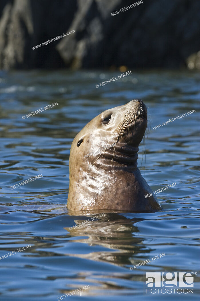 Stock Photo: Northern Steller sea lion Eumetopias jubatus colony on sail rock in Frederick Sound, southeastern Alaska This is the second largest of all pinnipeds in North.