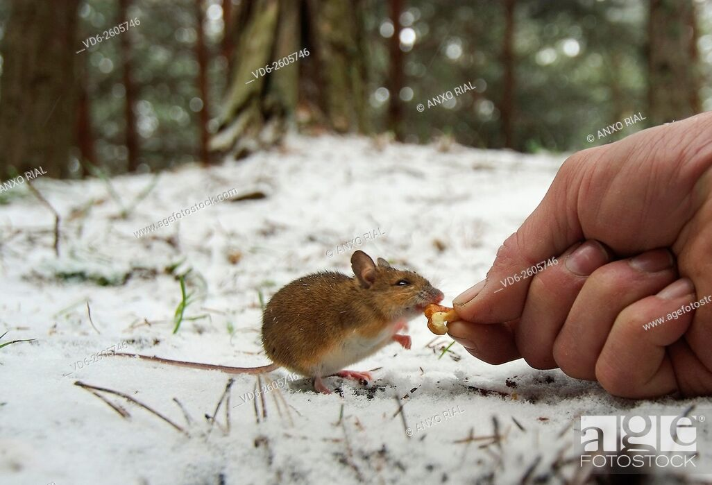 Stock Photo: Spain. León. Mountains of Card. Mouse eating the hand.