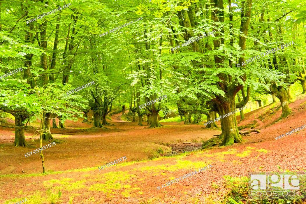 Imagen: Hayedo de Otzarreta, Otzarreta Beech Forest, Gorbeia Natural Park, Bizkaia, Basque Country, Spain, Europe.