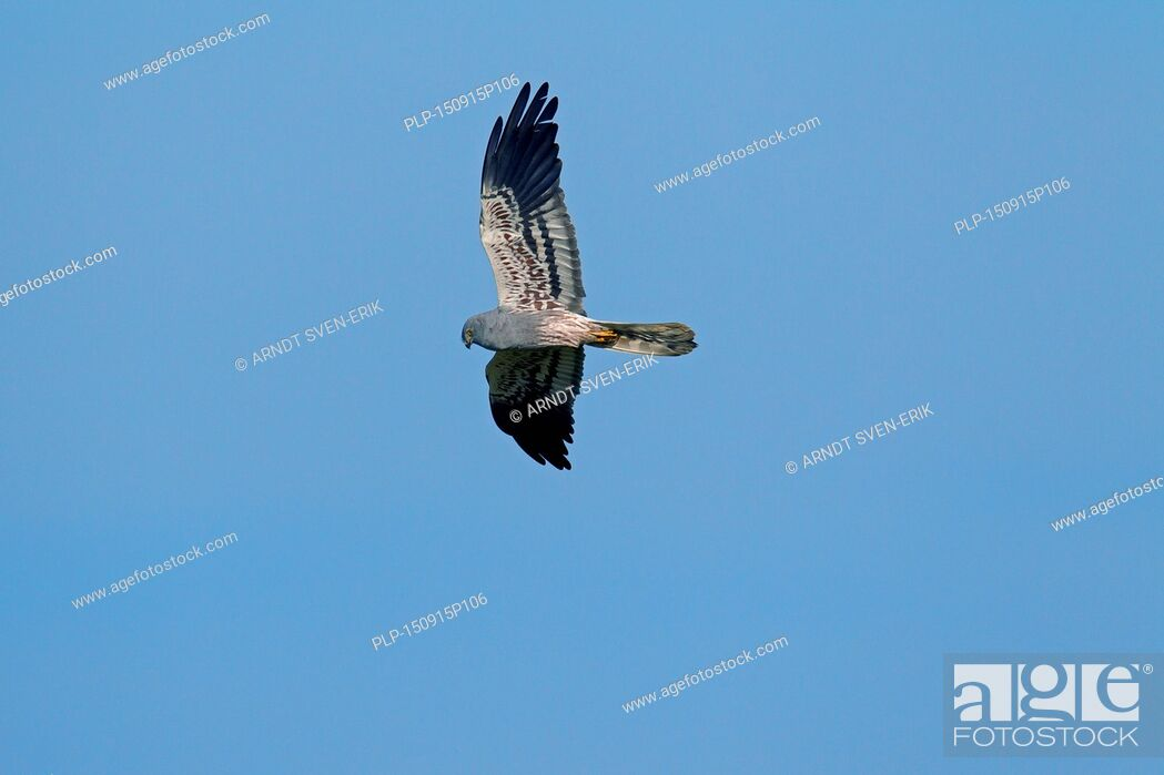 Stock Photo: Montagu's harrier (Circus pygargus), male in flight against blue sky.