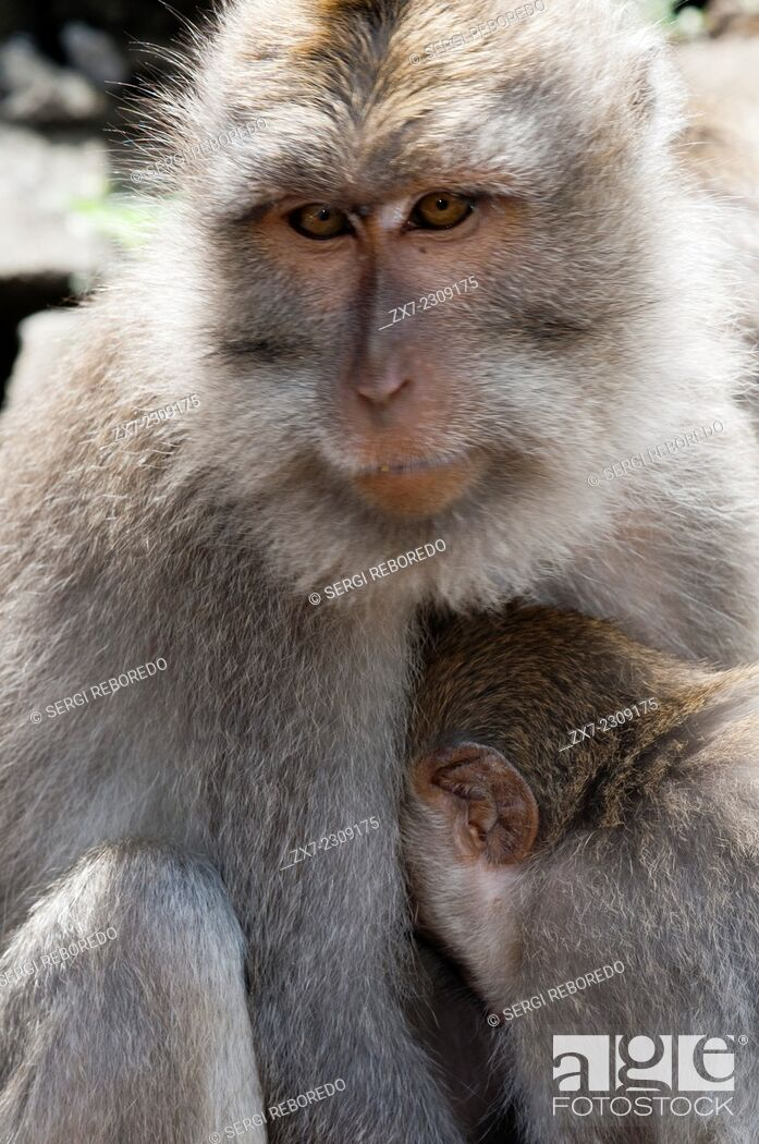 Stock Photo: Long-tailed macaques (Macaca fascicularis) in Sacred Monkey Forest, Ubud, Indonesia. Monkey (Macaca fascicularis) at Dalem Agung Padangtegal temple in Sacred.