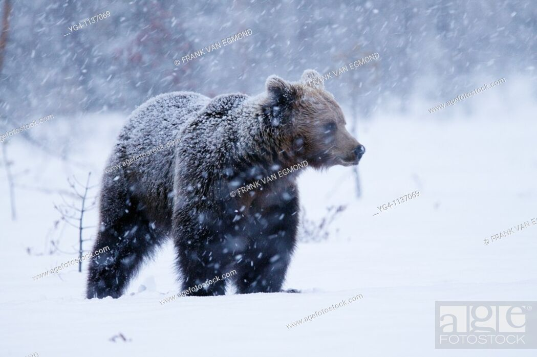 Stock Photo: Eurasian Brown Bear during heavy snowfall  Spring 2010  Martinselkonen, Finland.