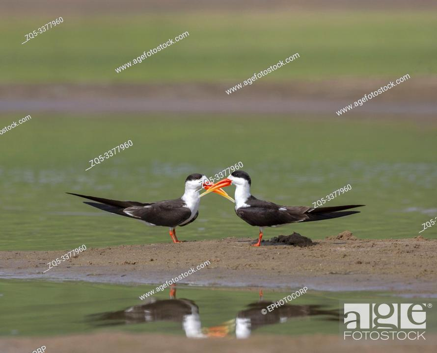 Stock Photo: Skimmers courtship, Tern-like birds from Laridae family at Chambal river in Rajasthan, India.