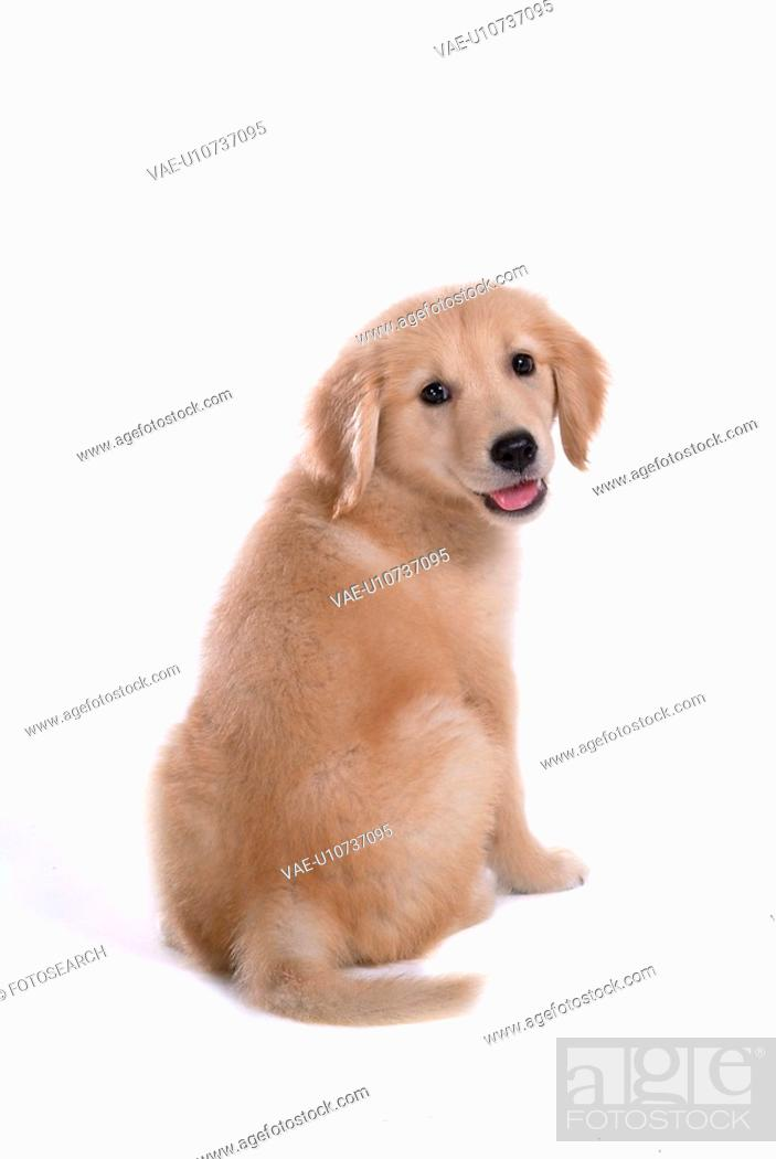 Stock Photo: canine, domestic animal, closeup, close up, looking back, companion, golden retriever.