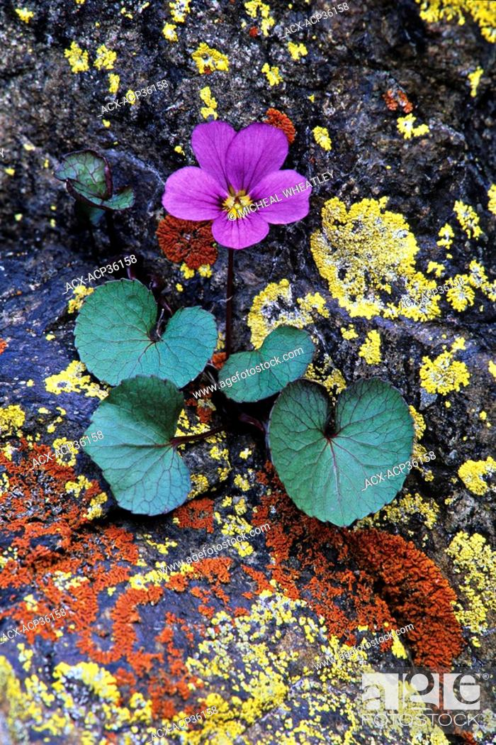 Stock Photo: Flett's violet, found only in Olympic National Park, Washington, USA.