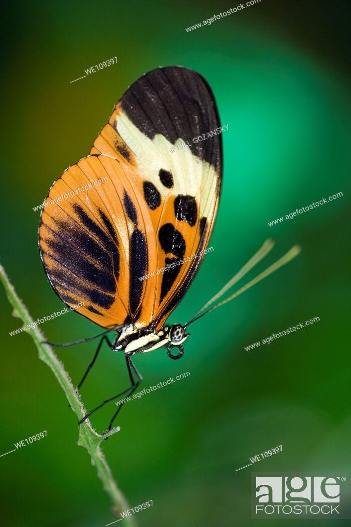 Stock Photo: Longwing Butterfly Captive - La Selva Jungle Lodge, Amazon Region, Ecuador.