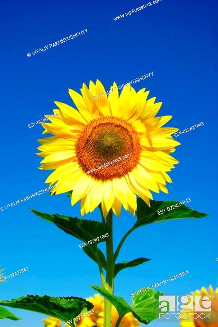 Stock Photo: sunflower.
