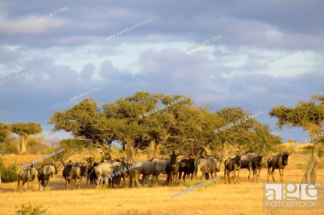 Stock Photo: Blue Wildebeest (Connochaetes gnou) herd in veld. Mashatu Game Reserve. Northern Tuli Game Reserve. Botswana.